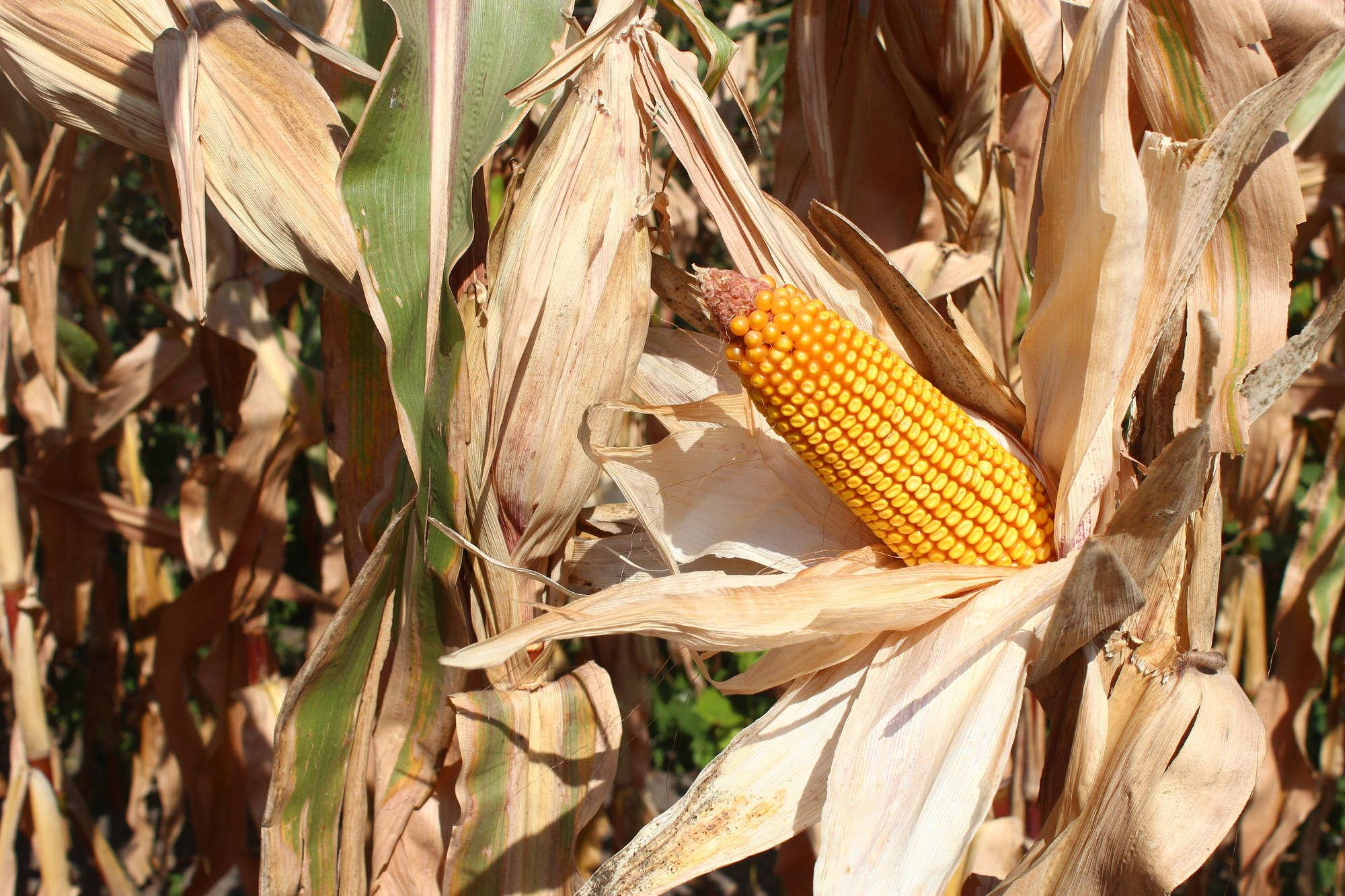 száraz kukoricatermés